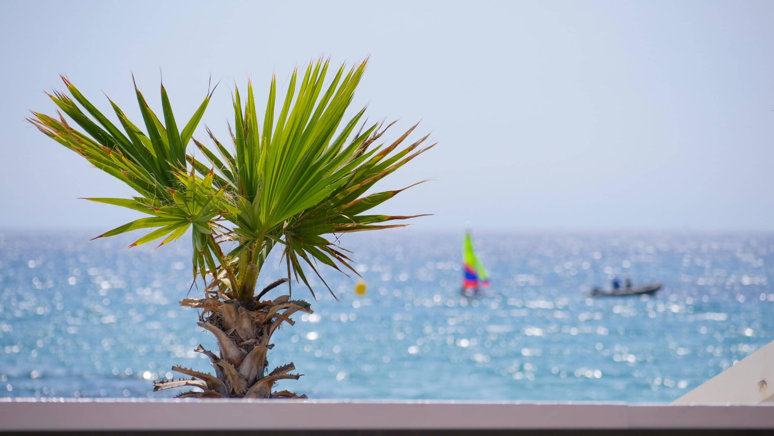 Palmier sur la plage des Lecques